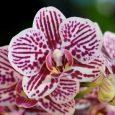 Phalaenopsis Taida King's Caroline 'Taida'